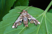 Eulenfalter, Eutelia adulatrix, Noctua adulatrix, La Noctuelle adulatrice, Eulenfalter, Noctuidae, noctuid moths, noctuid moth