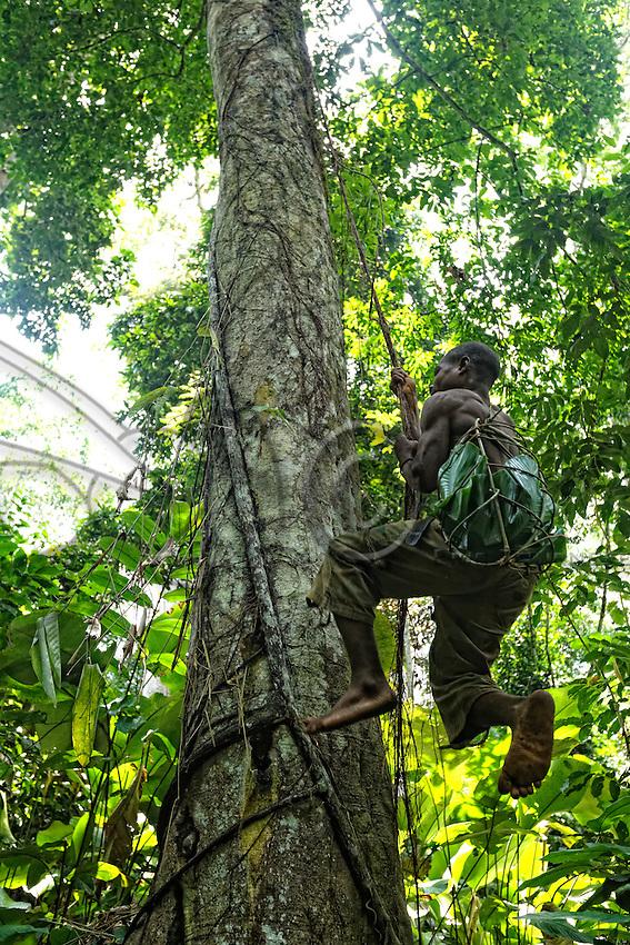 Basket for the honey slung over his shoulder, a honey-hunter nimbly climbs a tree with the help of the lianas. The honey-hunters go into the forest for the honey harvest with an axe and machete as tools. Basket, rope, ladder, everything is made in minutes by the team using lianas, fibers, sticks. I also watched a climb for which they built out of lianas a bridge between the branches of two trees to reach an enormous mahogany tree.///Panier pour le miel en bandoulière, un chasseur monte prestement à un arbre à l'aide de lianes. Les chasseurs partent en forêt pour la récolte du miel avec pour outils une hache, une machette. Panier, corde, échelle, tout est fabriqué en quelques minutes par l'équipe à l'aide de lianes, fibres, bâton. J'ai aussi assisté à une montée ou ils ont fabriqué avec des lianes un pont entre les branches de deux arbres pour accéder à un énorme acajou.