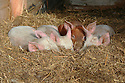 Four young pigs nestled in hay in barn