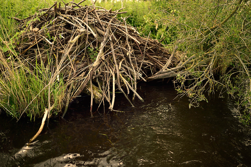 Beaver lodge, Castor fiber, Peene river, Anklam, Germany