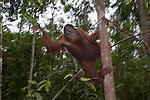 Bornean Orangutan (Pongo pygmaeus wurmbii) - young male