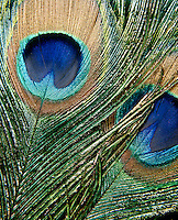 IRIDESCENCE: PEACOCK FEATHERS<br /> (Variations Available)<br /> Natural Transmission Diffraction Grating<br /> Spectral iridescence caused by a natural transmission diffraction grating composed of regularly spaced melanin rods.
