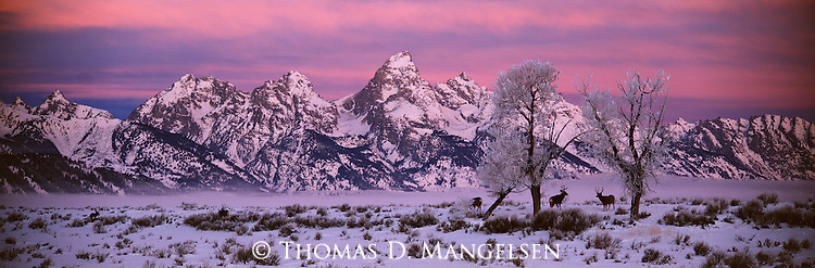 Mule deer below the Teton Range at sunrise in Grand Teton National Park, Wyoming.