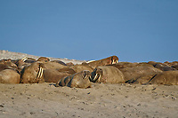 Atlantic walruses, Odobenus rosmarus rosmarus, herd on sand beach, Svalbard, Norway, Europe, Arctic Ocean