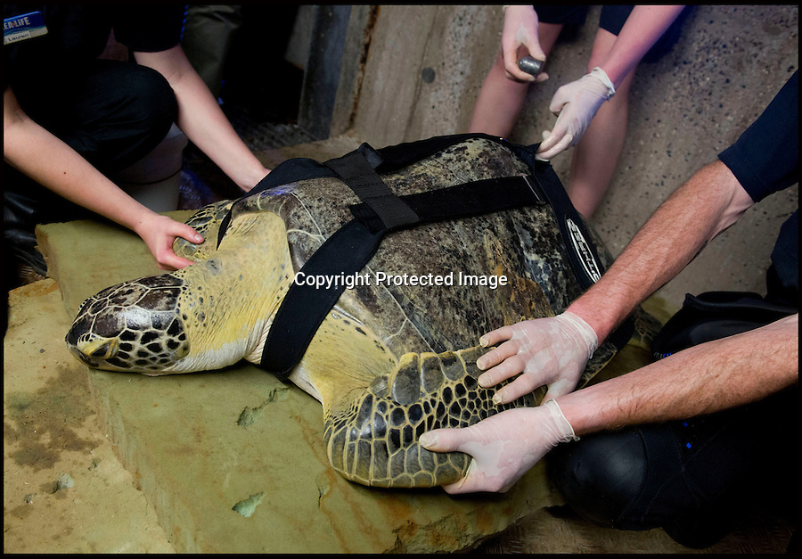 """BNPS.co.uk (01202 558833).Pic: RachelAdams/BNPS..In the swim...Sealife staff fit Ali's lead weights int her belt...Ali the rescued Green turtle, that sadly used to float like a butterfly and swim like a bee, now has a new lease of life after staff at the Weymouth Sealife centre invented the worlds first dive belt for the endangered sea creatures...In 2001 Ali - named after the legendary boxer -was hit by a boat in Florida which left an air bubble under her shell that prevented her from submerging and causing her to float bottom up...Despite weighing 65 kilos, she was stranded on the surface...Now a team at Weymouth Sea Life Adventure Park in Dorset have created a pioneering belt with removable weights that works just like a diver's weight belt...The new invention is believed to be the first of its kind - and means Ali, thought to be 15-20 years old, can dive again...Fiona Smith, curator at Weymouth Sea Life Adventure Park, said: """"The common thing to do is to stick weights to injured turtles' shells to allow them to dive but where Ali's shell was in slightly worse condition because of her accident it wasn't that easy...""""My team and I started thinking about how else we could attach the weights, and came up with the idea of a harness...""""We took the idea to a nearby dive shop and they came back to us with a custom-built dive belt we could slip weights into..."""