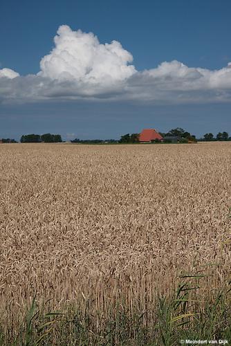 Grain - wheat - in Sexbierum, the North West part of Friesland (North of the Netherlands)..Graan - tarwe - in Sexbierum, in noordwest Friesland.