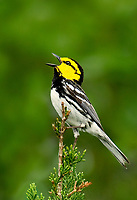 591850016 an endangered wild male golden-cheeked warbler setophaga chrysoparia  - was dendroica chrysoparia - sings from the top of a fir tree in balcones canyonlands national wildlife refuge texas united states