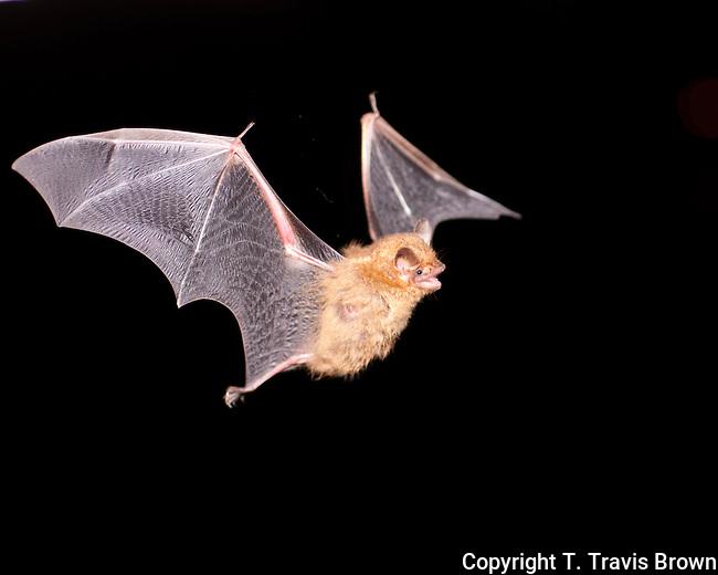 Tricolored Bat in Flight