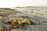 Red Sea Ghost Crab (Ocypode saratan) on beach, Salalah, Oman