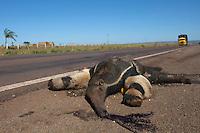 Tamandu&aacute; Bandeira atropelado por caminh&atilde;o na rodovia MT 020.<br /> Canarana, Mato Grosso, Brasil.<br /> Foto Paulo Santos<br /> 31/07/2015