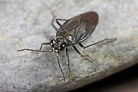 Geröll-Hüpferling, Uferwanze, Springwanze, Macrosaldula scotica, Acanthia scotia, shore bug, Uferwanzen, Springwanzen, Saldidae, shore bugs