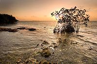 Red Mangrove, Rhizophora mangle, Florida Keys National Marine Sanctuary, Key Largo, Florida