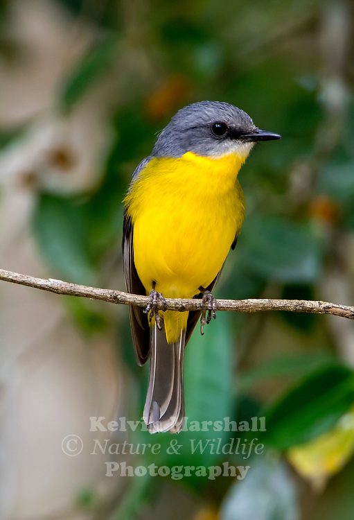 Eastern yellow robin (Eopsaltria australis) is an Australasian robin of coastal and sub-coastal eastern Australia. The extent of the eastern yellow robin's residence is from the extreme southeast corner of South Australia through most of Victoria and the western half of New South Wales and north as far as Cooktown. Tropical Northern Queensland birds are mainly restricted to the warm heights of the Great Dividing Range.