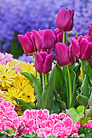 Tulip close-up, Liliacea, Las Vegas Nevada