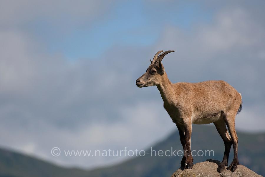 Alpen-Steinbock, Alpensteinbock, Steinbock, Capra ibex, alpine ibex