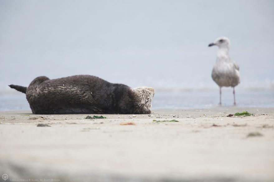 A juvenile herring gull watches a sea otter relaxing on a beach in Elkhorn Slough, Moss Landing, California.