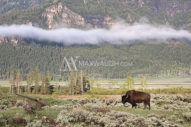American bison in the Lamar Valley.
