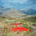 Tomatoes in a field, Sparta, Greece