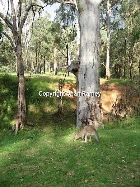 Kangaroo in national park, Australia
