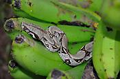 Boidae &eacute; uma fam&iacute;lia de serpentes n&atilde;o pe&ccedil;onhentas encontradas nas Am&eacute;ricas, na &Aacute;frica, na Europa, na &Aacute;sia e em algumas Ilhas do Oceano Pac&iacute;fico. Wikip&eacute;dia<br /> Nome cient&iacute;fico: Boidae<br /> Peso: Jiboia-constritora: 3,5 kg Encyclopedia of Life<br /> Classifica&ccedil;&atilde;o superior: Alethinophidia<br /> Classifica&ccedil;&atilde;o: Fam&iacute;lia
