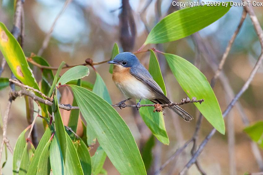 Leaden Flycatcher female, Yellow Water, Kakadu NP, NT, Australia