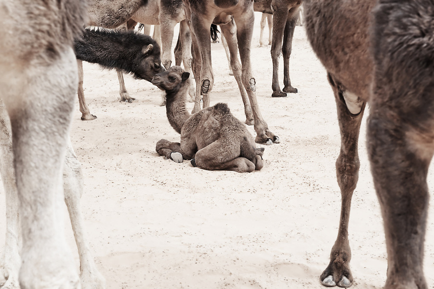 A camel (dromedary) baby lays on the ground, surrounded by camels.