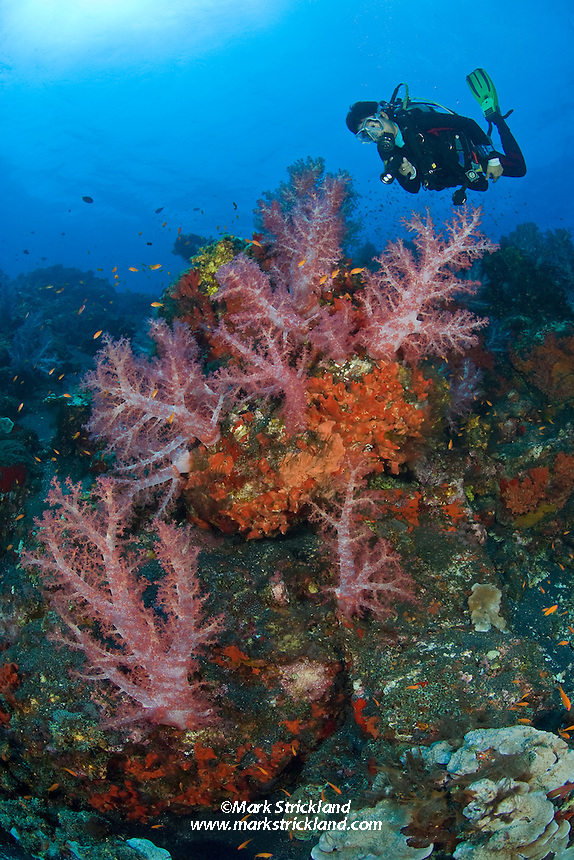 A diver hovers above thriving colonies of encrusting sponge and soft corals, Dendronepthya sp., on a steeply sloping reef. Barren Island, Andaman Islands, India, Andaman Sea