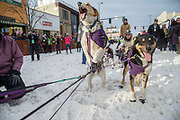 Jessie Royer's dog jumps to leave the start line during the Ceremonial Start of the 2016 Iditarod in Anchorage, Alaska.  March 05, 2016