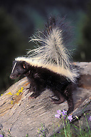 Striped Skunk youngster..Ranges through southern.Canada and most of USA. .Summer. (Mephitis mephitis).