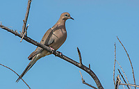 Mourning Dove, Zenaida macroura, perches on a branch in Kern National Wildlife Refuge, Kern County, California