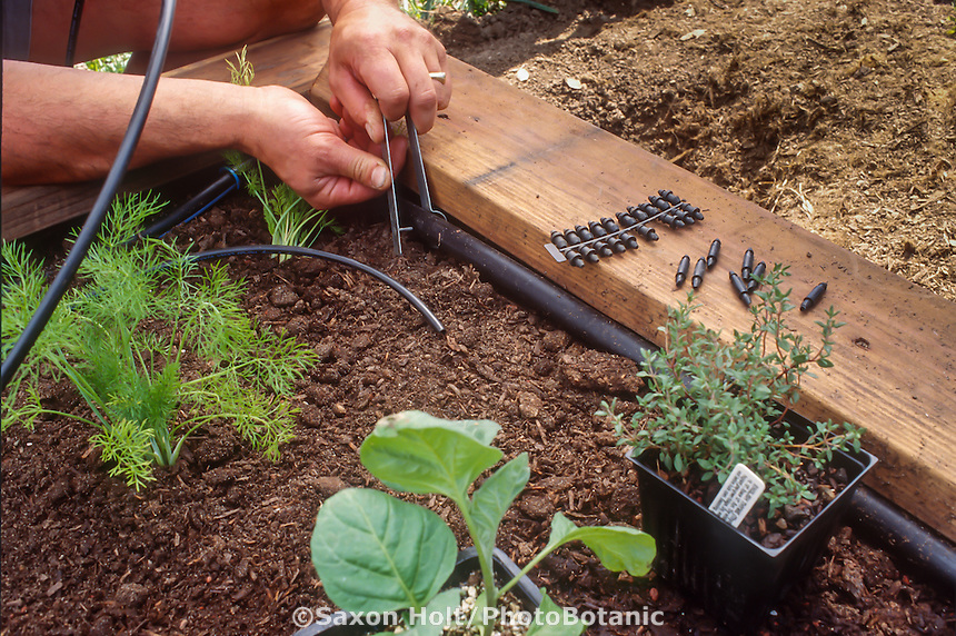 Installing drip irrigation in organic raised bed vegetable garden