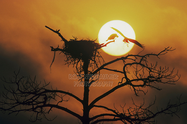 Osprey, Pandion haliaetus, adult landing on nest at sunset, Raleigh, Wake County, North Carolina, USA