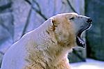 Animais. mamiferos. Urso-polar (Ursus maritimus). Foto de Juca Martins.