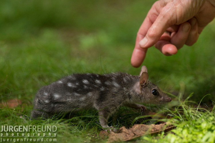 Baby Northern quoll under the care of a wildlife carer. The northern quoll (Dasyurus hallucatus), also known as the northern native cat, the satanellus, the North Australian native cat or the njanmak (in the indigenous Mayali language), is a carnivorous marsupial native to Australia.