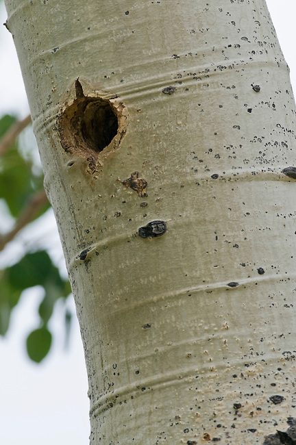 nesting cavity, aspen, trunk, bird, summer, June, morning, wildlife, nature, Rocky Mountain National Park, Colorado, USA