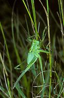 Grünes Heupferd, Entwicklungsreihe, 7. Larvenstadium, Larve, Nymphe, Weibchen, Großes Heupferd, Großes Grünes Heupferd, Grüne Laubheuschrecke, Tettigonia viridissima, Great Green Bush-Cricket, Green Bush-Cricket, female, la grande sauterelle verte, Tettigoniidae