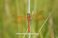 06612-00118 Golden-winged Skimmer dragonfly (Libellula auripennis) male perched near wetland, Marion Co., IL