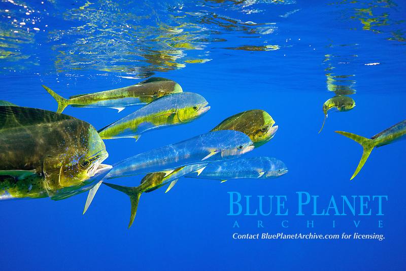 dorado, mahi-mahi, mahimahi, mahi mahi, or dolphin fish, Coryphaena hippurus, swimming offshore of Kaiwi Point, Kona Coast, Big Island, Hawaii, USA, Pacific Ocean
