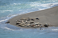 Seals and their newly-born pups on a sandbank at the estuary of the Russian River, at Jenner, Sonoma County, California, USA. 201304292062<br /> <br /> Copyright Image from Victor Patterson, 54 Dorchester Park, Belfast, UK, BT9 6RJ<br /> <br /> Tel: +44 28 9066 1296<br /> Mob: +44 7802 353836<br /> Voicemail +44 20 8816 7153<br /> Skype: victorpattersonbelfast<br /> Email: victorpatterson@me.com<br /> Email: victorpatterson@ireland.com (back-up)<br /> <br /> IMPORTANT: If you wish to use this image or any other of my images please go to www.victorpatterson.com and click on the Terms &amp; Conditions. Then contact me by email or phone with the reference number(s) of the image(s) concerned.