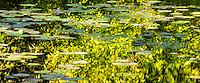 Water Lillies, Washington