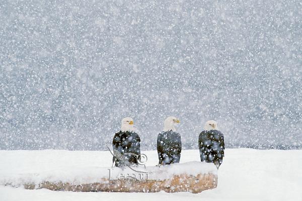 Bald Eagles (Haliaeetus leucocephalus)  sitting on beach log during heavy winter snowstorm.