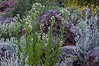 Anaphalis margaritaceae Pearly Everlasting flowering in California native plant garden, Regional Parks Botanic Garden, Berkeley, California