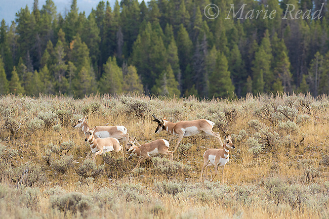 Pronghorn (Antilocapra americana), male chasing small herd of females/young males, autumn, Grand Teton National Park, Wyoming, USA