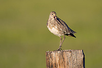Adult Willet (Tringa semipalmata) giving alarm calls from a fence post. Sublette County, Wyoming. June.