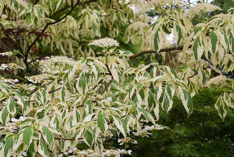 Cornus controversa 'Variegata' (Variegated Giant Dogwood) showing branches, leaves foliage, flowers in spring May bloom, AGM award plant