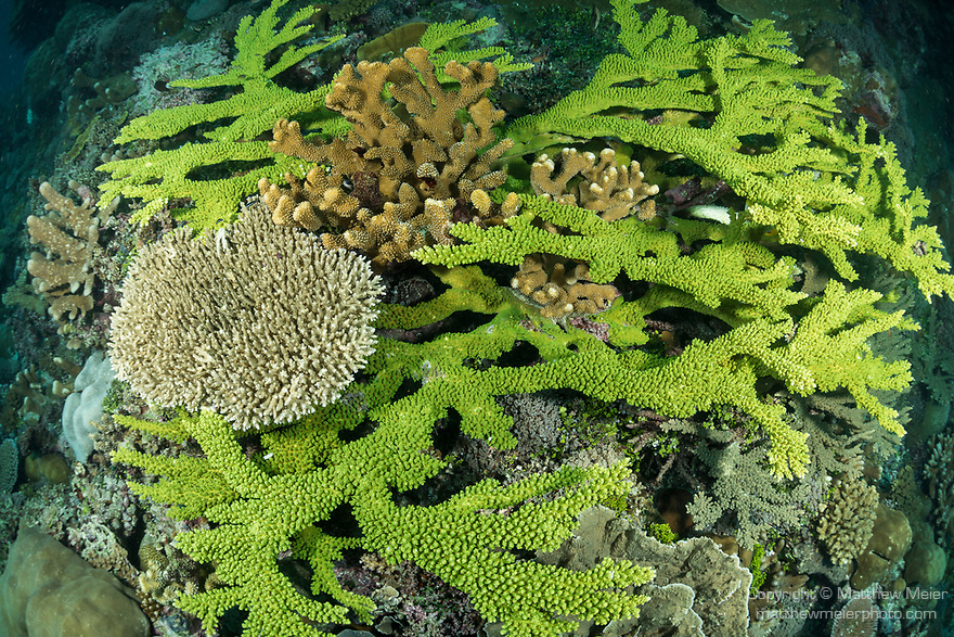 Marovo Lagoon, Solomon Islands; green, elkhorn shaped hard corals in a shallow coral garden in late afternoon light