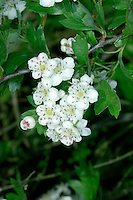 HAWTHORN Crategus monogyna (Rosaceae) Height to 12m<br /> Thorny shrub or small tree. Forms dense thickets and often the commonest hedgerow species. FLOWERS are 15-25mm across with 5 white petals; in clusters (May-Jun). FRUITS ripen to form clusters of bright red berries. LEAVES are shiny, roughly oval and divided into 3-7 pairs of lobes. STATUS-Widespread and common throughout.