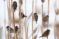 A flock of House Sparrows congregate in a stand of cattails near Bozeman, Montana.