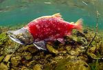 A carmine sockeye salmon swims upstream to spawn in Alaska's Wood-Tikchik State Park.