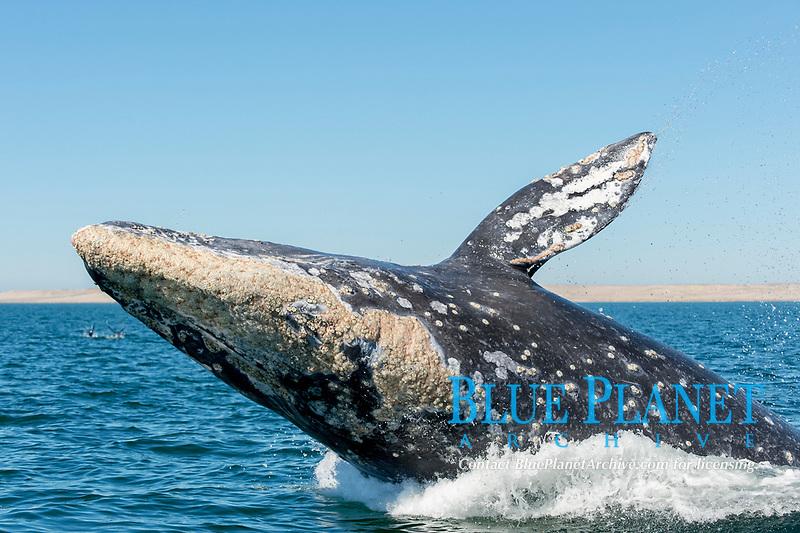 gray whale, Eschrichtius robustus, adult, breaching, Ojo de Liebre Lagoon, Baja California Sur, Mexico, Pacific Ocean